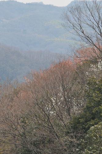 yamasakura-200326-l.jpg