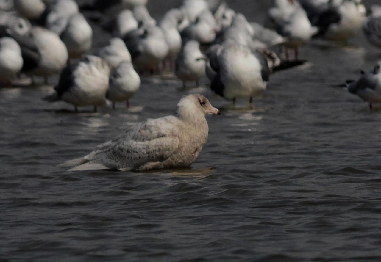 200219シロカモメ大和川