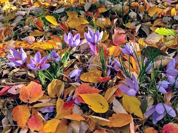 サフランの花と彩りの落ち葉