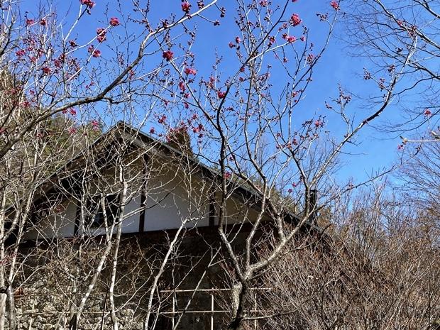 紅梅が咲いていた