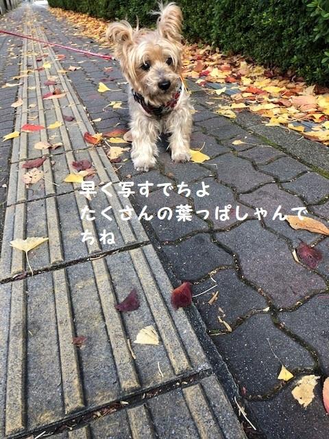 銀杏の散歩