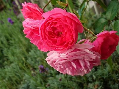 2019年9月の薔薇4