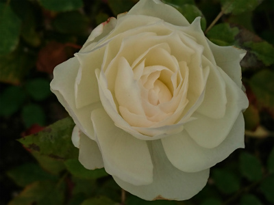 2019年9月の薔薇3