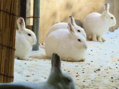 円山動物園エゾウサギ3
