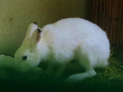 円山動物園エゾウサギ2