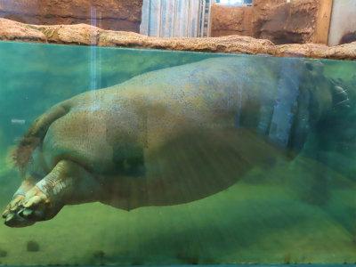 円山動物園かばさん