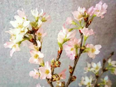 2020東海桜2