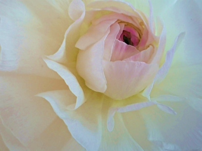 2020年2月シュエットの薔薇