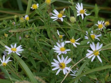 タデ原湿原 キク科の花 1