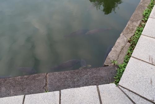 皇居お壕の鯉