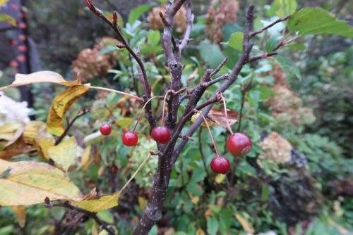 忍野八海 出口池 赤い実