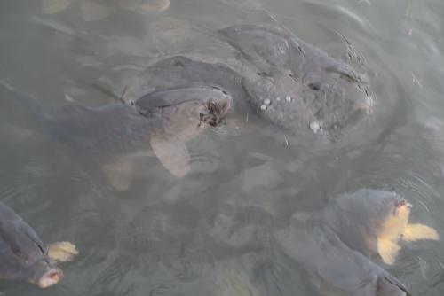 山中湖 鯉
