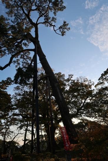 小田原城 松の大木