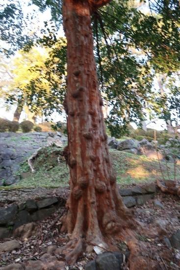 小田原城 地震で滑り落ちた石垣と木