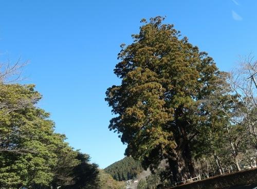 天竜区 杉の花