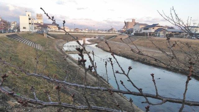 逢瀬川のコサギ翔 (2)