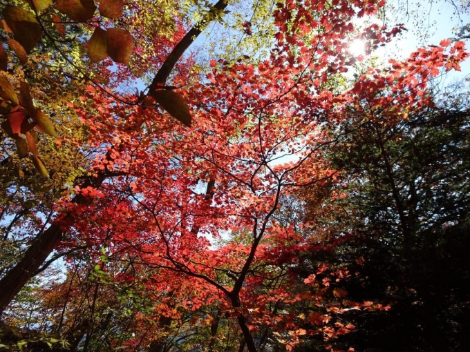 輝く紅葉2