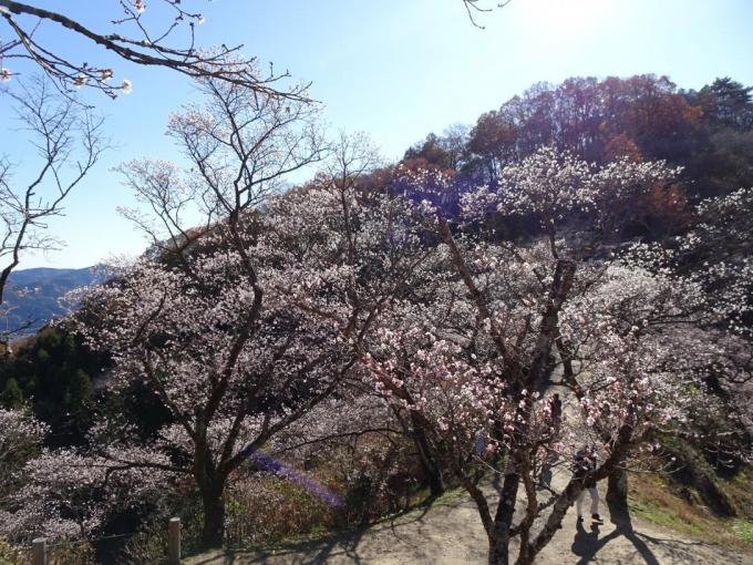 冬桜と桜山
