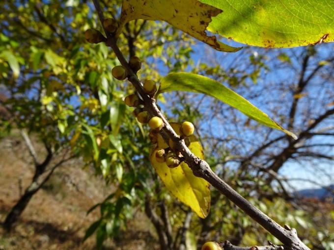 蝋梅のつぼみ
