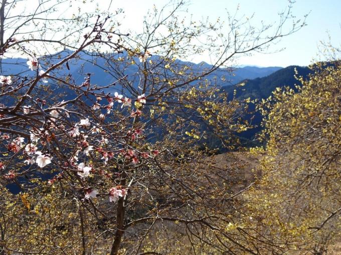 冬桜とロウバイ