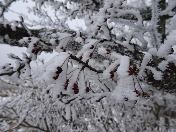 ズミの木にも霧氷