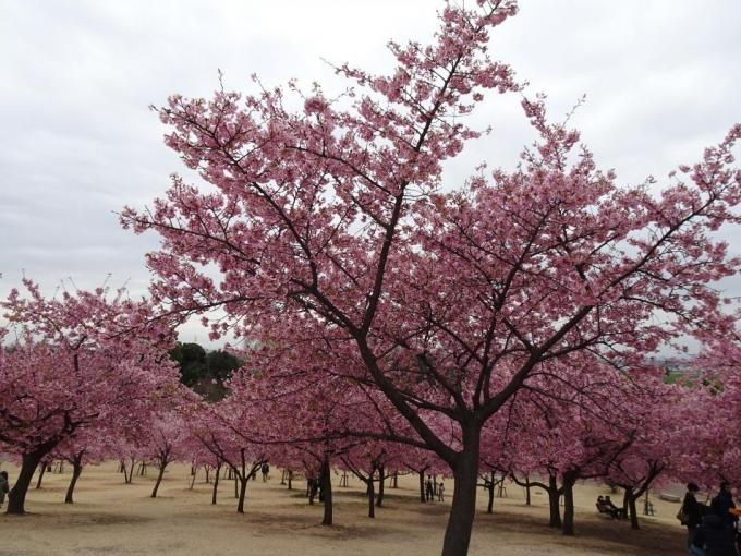 河津桜(市民の森公園)