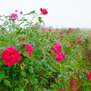 赤い小さなバラ