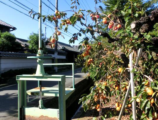 06白壁に柿が