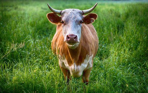bull-2438032_960_720.jpg