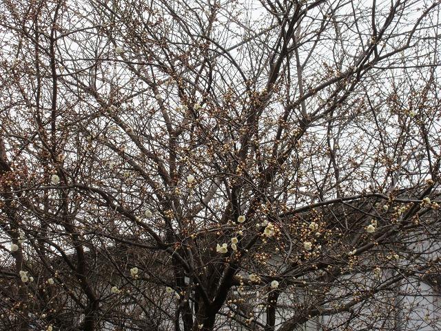 IMG_3549寒いのにもう白い梅咲きだしたよ