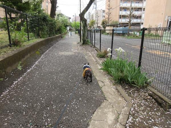 200330up04桜の花びら道