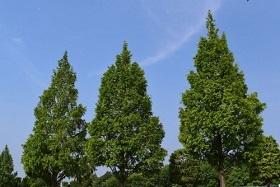 2020年2月会報メタセコイアの木