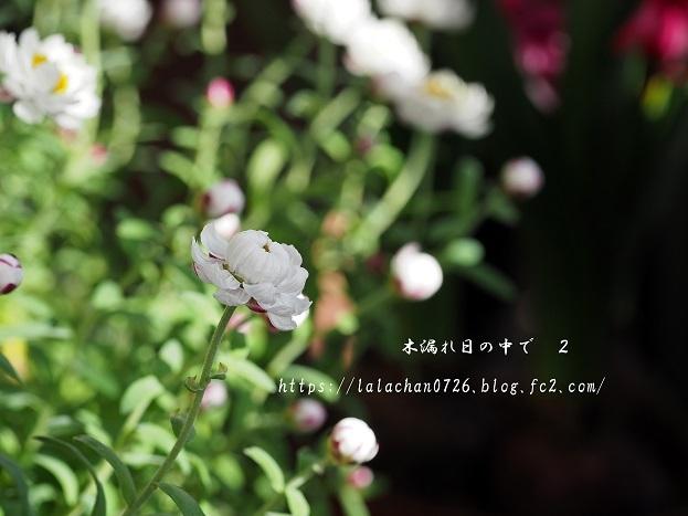 満開の花かんざし