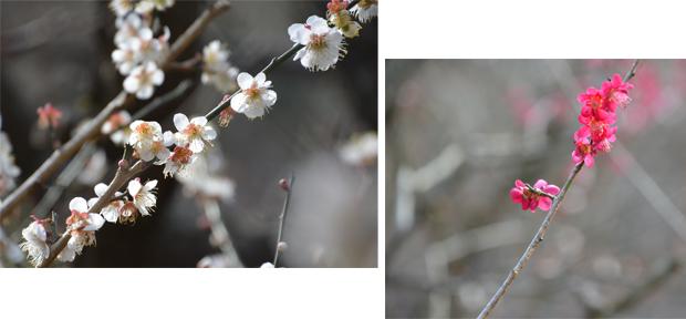 2020年02月19日伊豆旅行①熱海梅園(3) のコピー