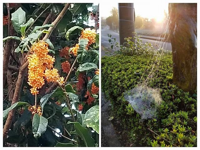 金木犀と蜘蛛の巣