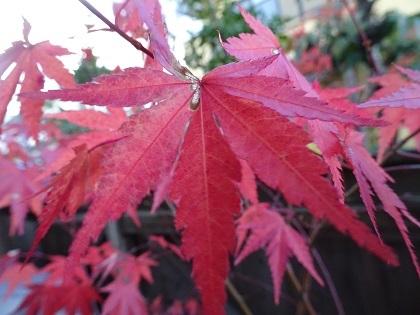 うちの紅葉