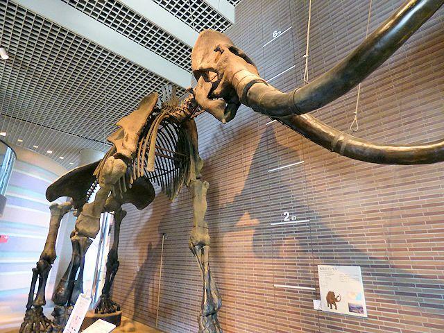 茨城県自然博物館のマンモス
