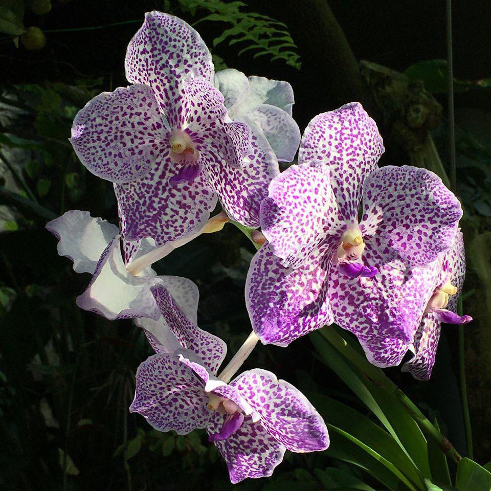 orchid-01-vanda-960.jpg