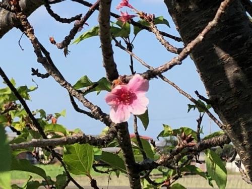 桜の花が30