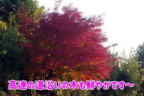 高速の道沿いの木も紅葉~