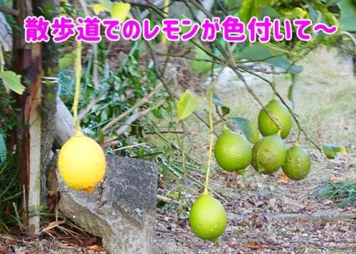 レモンが色付いて~