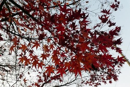 紅葉ももう終わり