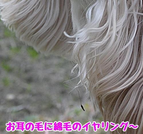 綿毛のイヤリング