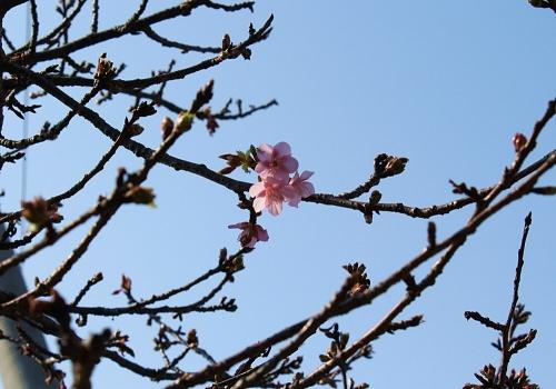 河津桜が咲き始めた