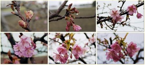 だいぶ咲いてきたかわず桜