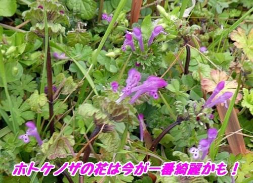 ホトケノザの花が綺麗