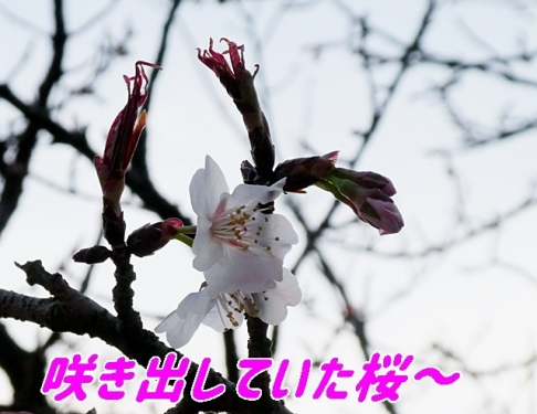 咲き出していた桜
