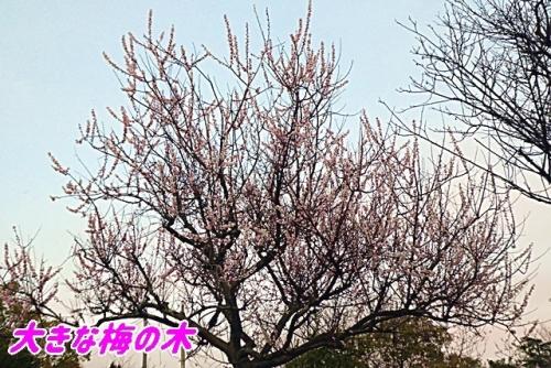 大きな梅の木