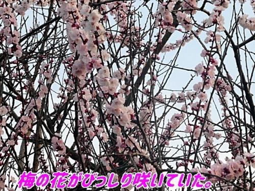 梅の花がびっしり
