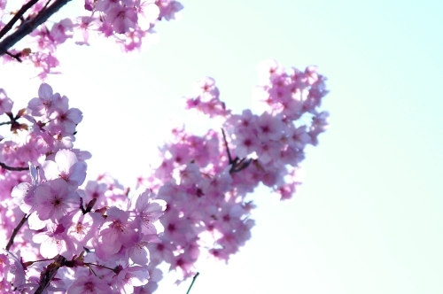 綺麗な桜2